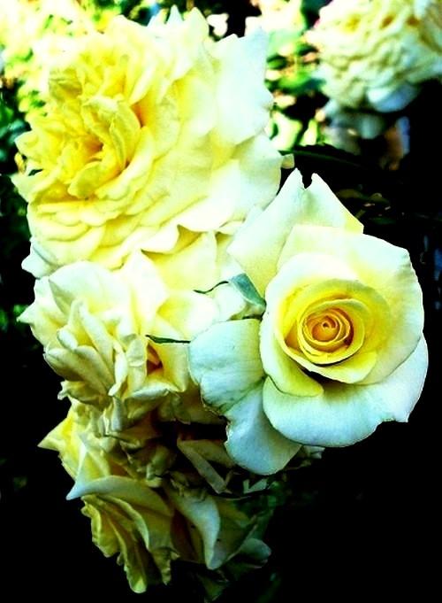 sterntaler-roses-passion-2281.jpg