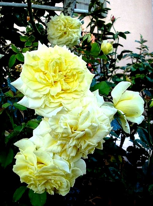 sterntaler-roses-passion-2282.jpg