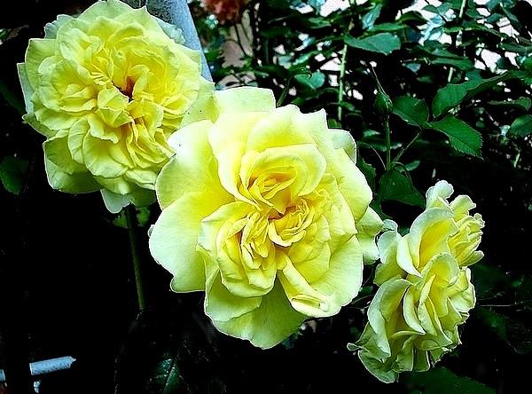 sterntaler-roses-passion-2283.jpg