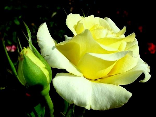 sterntaler-roses-passion-2284.jpg