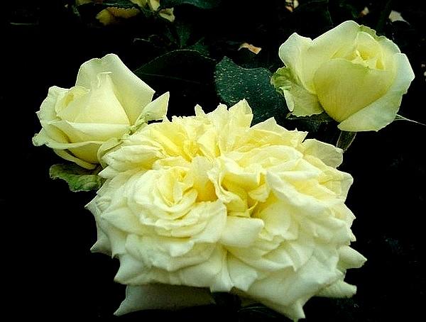 sterntaler-roses-passion-2285.jpg