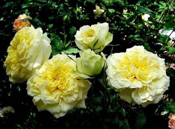 sterntaler-roses-passion-2286.jpg