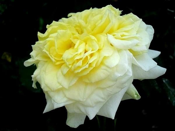 sterntaler-roses-passion-2287.jpg