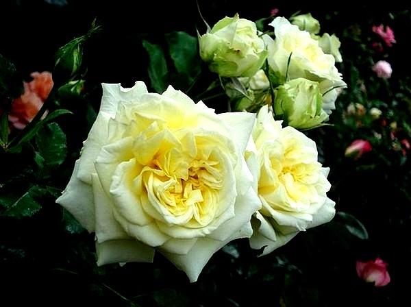 sterntaler-roses-passion-2288.jpg