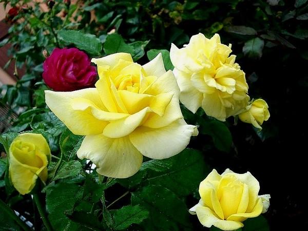 sterntaler-roses-passion-2290.jpg