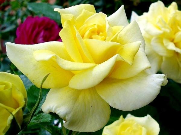 sterntaler-roses-passion-2292.jpg
