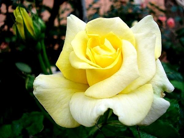 sterntaler-roses-passion-2293.jpg