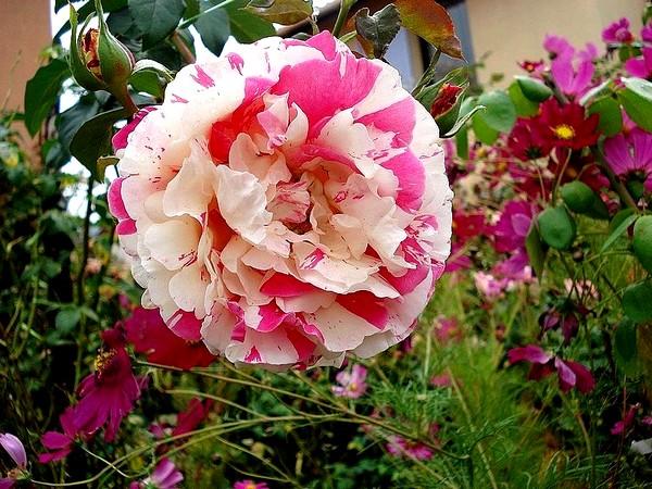 vanille-fraise-03368-rosesp.jpg
