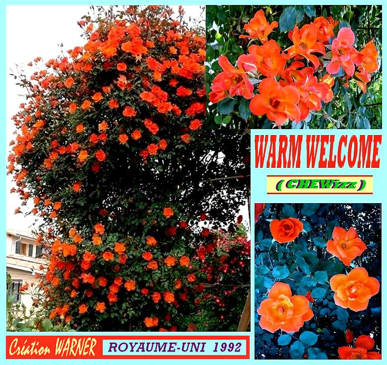 warm-welcome-rose-chewizz-petit-grimpant-roses-passion.jpg