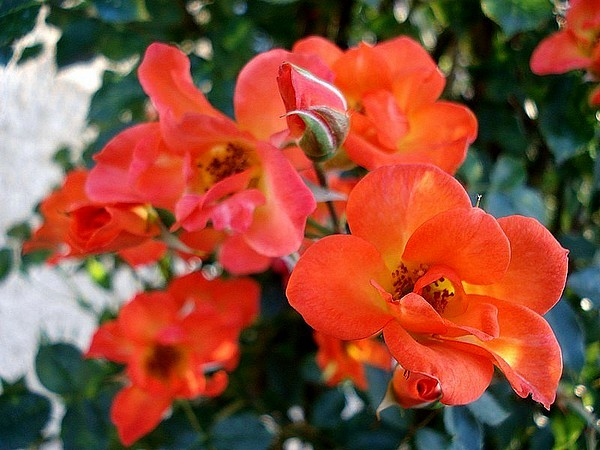 warm-welcome-roses-passion-3102.jpg