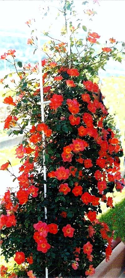 warm-welcome-roses-passion-3103.jpg