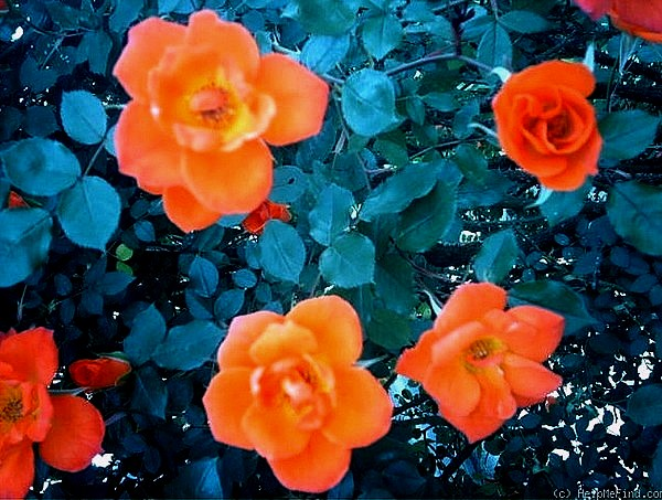 warm-welcome-roses-passion-3105.jpg